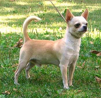 Chihuahua (perro)